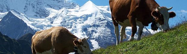 Oferty skupu bydła